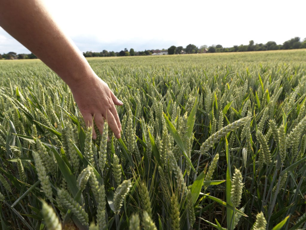 Hand brushing through green wheat field.Differential focus.